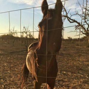 One of Uribe's underfed horses.